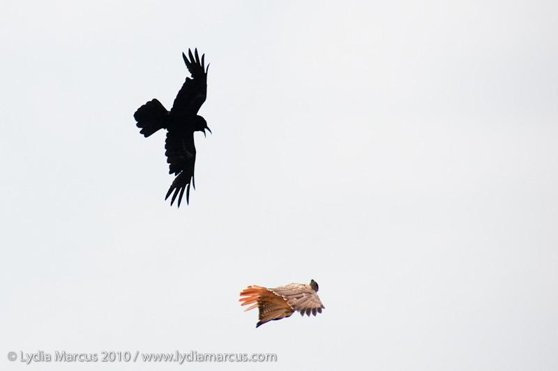 crowvshawk