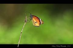 Plain Tiger (Danaus chrysippus).... (suhaaz Kechery) Tags: india green butterfly photography bokeh tiger sigma os apo plain bg dg thrissur plaintiger danauschrysippus canon450d kechery 150500 suhaaz kolland sigma150500dgapoos