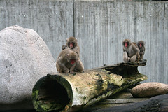 Mantelpaviane / sacred baboons