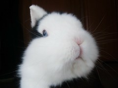 Hy, my friends!!! ;-) (AleFletcher) Tags: white rabbit bunny pose soft adorable lapin toocuteforwords mylittlelove coquinou