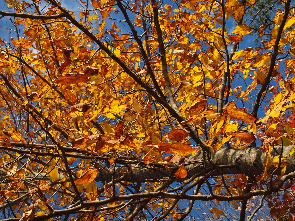 Hickory Branch Dressed in Gold