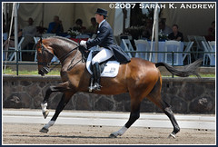 Christopher Hickey and Regent - extended canter (Rock and Racehorses) Tags: dutch regent dressage warmblood intermediaire christopherhickey