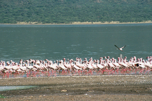 LB Lake Bogoria Flamingos2