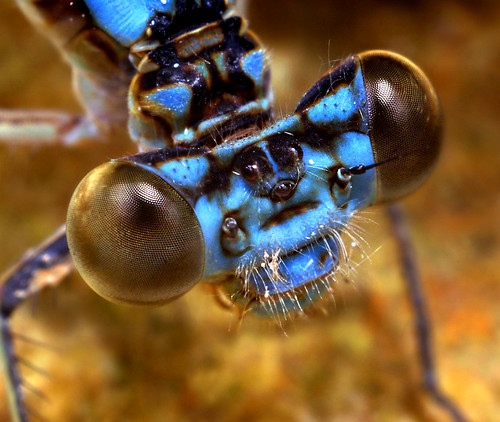 Blue Damsel Fly Face - (Zygoptera)