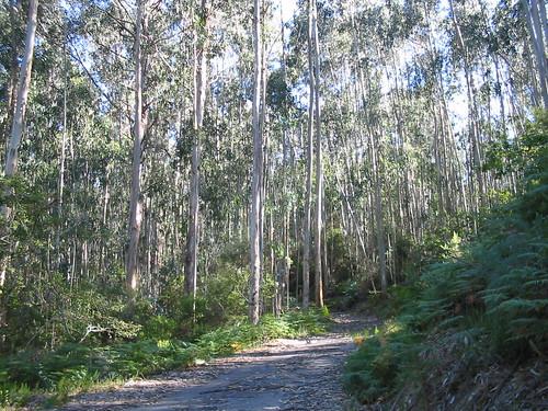 Bosque de eucaliptos por mizar_61.