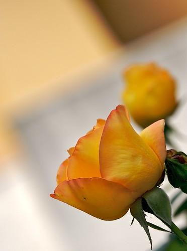 Rosa obliqua