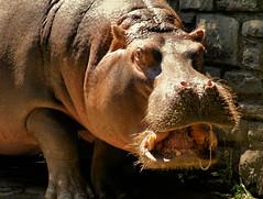 stay away from my hay! (moocatmoocat) Tags: philadelphia mouth zoo hippo hippopotamus hay tusks aplusphoto