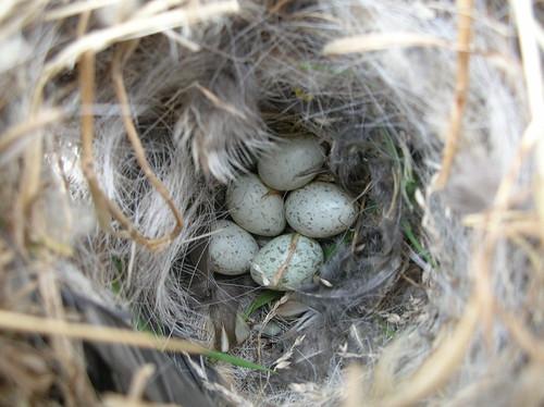 House Sparrow-eggs