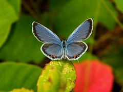 Eastern Tailed Blue - Male. (squatchman) Tags: blue red summer orange macro green nature wisconsin outdoors butterflies insects bugs tiny urbannature naturescenes flyinginsects thenatureconservancy insectsandspiders insectsspiders wunderground anythingnature allthingsbeautifulinnature 10millionphotos insectphotography beautifulbutterflies butterflybeauty amateurmacros ishflickr macrophotosnolimits flickrinsects butterflygallery butterfliesofwisconsin