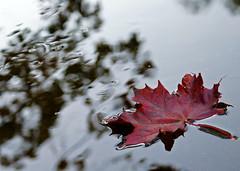 Flytende (randihausken) Tags: autumn water leaves reflections searchthebest blad vann hst themoulinrouge naturesfinest 333views 35faves abigfave ysplix excellentphotographerawards