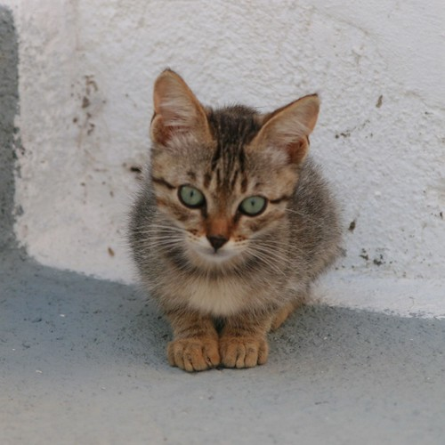 Kitten, Santorini, Greece