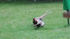 MVI_1256 (Asheg_73) Tags: pheasents ukwildlife