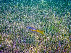 Fish in Sea Grass (joel8x) Tags: travel cruise carnival vacation underwater pentax bahamas freeport paradisecove deadmansreef optiow80