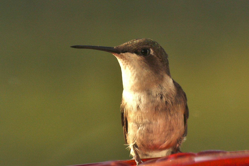 Ruby-throated hummingbird (female) (3)