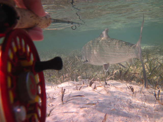 bonefish underwater