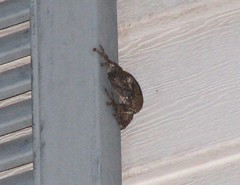 Cope's gray treefrog on the house