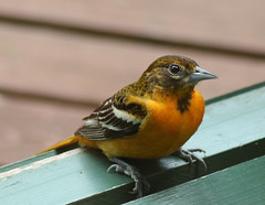 oriole 2 - by withrow