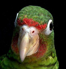 Amazona vittata, Puertorican parrot fledgling, a smile of hope (Ricardo in PR) Tags: red wild naturaleza baby green bird nature beautiful puerto happy amazing shiny symbol puertorico release joy parrot shy icon rico few management future program ricardo bebe unusual difficult endangered lovely capture population endemic rare brilliant cultural avian fledgling survivor liberacion feisty puertorican wary cautiverio cotorra amazona programa feathered threatenedspecies recursos naturales naturesfinest aggresive volanton puertorrican vittata aviculture reproduccion amenazada wilful endemica worldbest puertoriquena aplusphoto firsttheearth flickeelitegroup amazonavittata