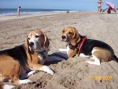 Playeros descansando (Betolandia) Tags: copyright beagle zombie hound perro cachorro ilegal canino beto betolandia susanagrimaldisheridan didyouknowthatitisillegaltostealpictures robarfotoses