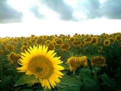 SunFlower (Flopyt) Tags: landscape sunflower