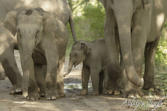 Baby elephant (dickysingh) Tags: wild india nature big outdoor wildlife aditya elephants corbett singh corbet dicky indianwildlife indianelephants corbettnationalpark asianelephants corbetttigerreserve asiaticelephants elephantpark wildelephants elephantreserve ranthambhorebagh naturewatcher adityasingh dickysingh ranthamborebagh theranthambhorebagh