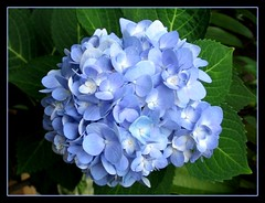 A gorgeous mophead of Endless Summer Hydrangea (Bigleaf Hydrangea) in bluish lavender from our tropical garden, captured today - July 13, 2007