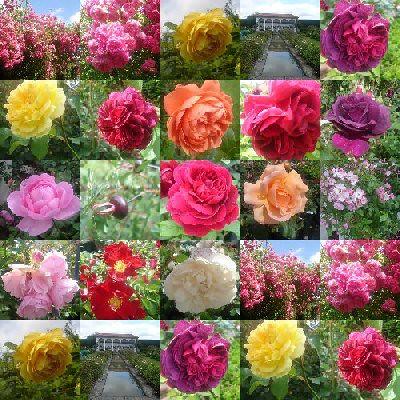 English roses_1