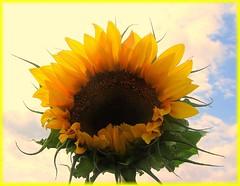 SUNNY SMILE (nyomee wallen) Tags: flower smile yellow sunny soe naturesfinest brillianteyejewel