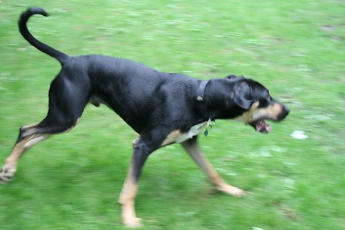 Doberman Greyhound Cross