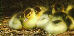 DuckTails (thenari) Tags: portrait pet macro cute animal ducks poultry babyduck