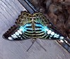 Pihenő szépség / Resting beauty (ssshiny) Tags: butterfly insect blueribbonwinner rovar pillangó lepke