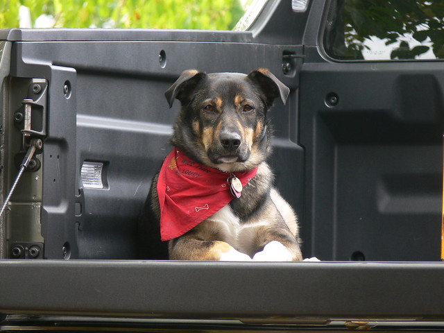dog truck honda pickup doggy bandana ridgeline regal impressedbeauty pointyfaceddogs pointfaceddogs rexpfds shepperdcross
