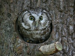 Boreal owl - Raufukauz (pe_ha45) Tags: bravo owl owls borealowl eule eulen supershot abigfave aplusphoto isawyoufirst natureoutpost aegiolusfunereus greifvogelgehegebispingen raufuskauz mygearandme mygearandmepremium mygearandmebronze mygearandmesilver mygearandmegold mygearandmeplatinum mygearandmediamond rememberthatmomentlevel4 rememberthatmomentlevel1 rememberthatmomentlevel2 rememberthatmomentlevel3 rememberthatmomentlevel5 rememberthatmomentlevel6