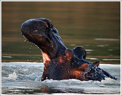 Hippo (A.M.G.1) Tags: nature animals african wildlife hippo borntobewild goodman andygoodman naturesfinest southafricanwildlife naturesgallery impressedbeauty southernafricanwildlife wildlifesouthafrica btbw goodmanandy wildlifeinsouthernafrica africanwildlifephotographer wildilfephotographer