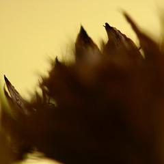 autumn colour (limerickdoyle) Tags: light flower gold dof blurvision efs60mm canon400d