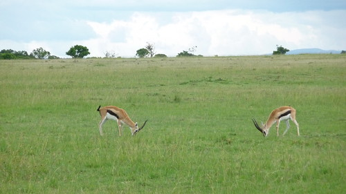 Day 9: Thompson Gazelles butting heads