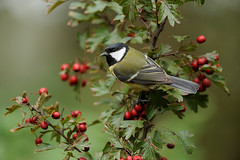Great Tit (Parus major) (m. geven) Tags: autumn bird fall nature animal fauna berry herfst feathers natuur veer common dier oiseau greattit mees avian parusmajor hawthorn vogel oiseaux avifauna koolmees gelderland algemeen maytree nld najaar veren jaarvogel meidoorn pluim zangvogel paridae kohlmeise msangecharbonnire forestbird gardenbird bej breedingbird passerinebird tuinvogel broedvogel standvogel holenbroeder insekteneter gemeentemontferland herfstsfeer talrijk bosvogel besdragend nederlandthenetherlandsniederlande