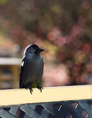 Bird at café (fredrikande) Tags: bird raw 85mm 85mmf14 samyang