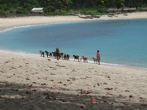 menggembala kambing di pantai