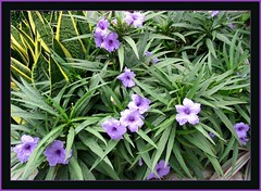 A colony of Ruellia brittoniana 'Katie' in our flower bed