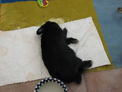 Flop'd (parakkum) Tags: cute rabbit bunny adorable stormy 2007 flopped
