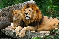 King And Queen (A.alFoudry) Tags: canon king lion queen jungle 5d kuwait lioness q8 abdullah    100400 kuw supershot   specanimal xnuzha alfoudry abigfave  abdullahalfoudry   5d365 foudryphotocom   kuwaitvoluntaryworkcenter