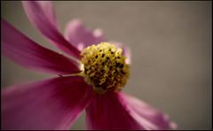 (ArizonaBabyDoll) Tags: flower nature heidi nikon nikond50 pinkflower golddragon flowerpicturesnolimits arizonababydoll goldstaraward