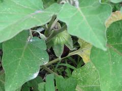 Lil Baby Eggplant!!