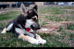 lexi (mariacaridad) Tags: dog pet cute animal puppy mutt mix husky innocent siberianhusky doggy pup breed germanshepherd domesticated