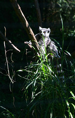 Ring Tail Lemur (aplseed photography) Tags: summer animals fun afternoon wildlife sunny blankparkzoo desmoinesiowa