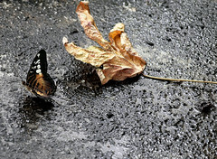 Rainy Day (Firenzesca) Tags: autumn fall leave rain butterfly foglia autunno farfalla butterflyhouse collodi naturesfinest flickrdiamond globalvillage2 colourartaward theperfectphotographer