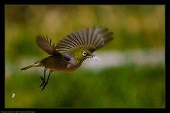 Away with the loot... (NavindaK) Tags: food green bird canon flying inflight wings rice action eating flight beak feathers eos350d silvereye naturesfinest smallbird supershot canonef100300mmf4556usm diamondclassphotographer flickrdiamond