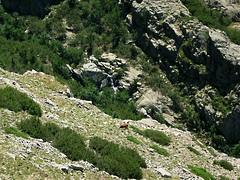 La descente vers Coracchia et ses vaches