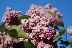 Arnold Arboretum, 15 May 2010: Detail view of one of the pink lilac trees (Chris Devers) Tags: flowers trees flower tree boston forest ma spring blossom massachusetts harvard arnold arboretum lilac bloom harvarduniversity bostonma lilacs 2010 arnoldarboretum emeraldnecklace cameranikond50 exif:exposure_bias=0ev exif:focal_length=50mm exif:exposure=0006sec1160 exif:aperture=f63 treemuseum camera:make=nikoncorporation exif:flash=offdidnotfire camera:model=nikond50 exif:lens=50mmf18 meta:exif=1274018085 flickrstats:favorites=1 exif:orientation=horizontalnormal exif:filename=dscjpg exif:vari_program=auto exif:shutter_count=43690 meta:exif=1350398406